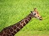 千葉市動物公園のキリンの写真